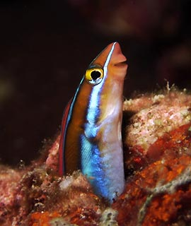 Tube-worm Blenny