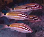 Black-spot Goatfish