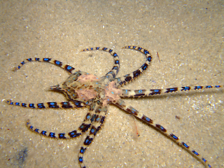 external image blue_ringed_octopus.jpg