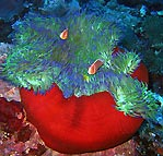 Anemone in Vanuatu