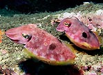 Cuttlefish pair
