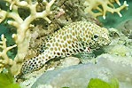 Honeycomb Cod