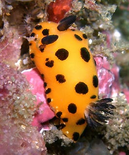 Nudibranch at Bare Island