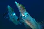 Pair of squid