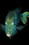 Shaw's cowfish (male)