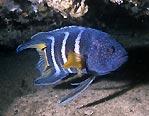 Eastern Blue Devil, Sydney, Australia