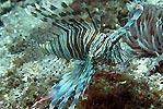 Lionfish 2