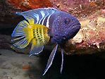 Eastern Blue Devil