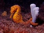 Big-bellied Seahorse