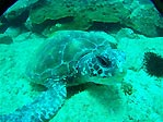 Green Turtle at SWR