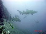 Grey Nurse Sharks at SWR