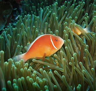pink_anemonefish.jpg