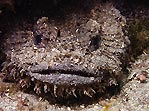 Eastern Frogfish