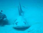 White-spotted Guitarfish