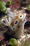 Sniffing Nudibranch