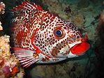 Red-lip Morwong