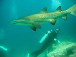 Grey Nurse Shark