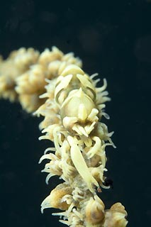 Whip Coral Shrimp