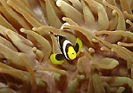 Anemonefish at Cook Island