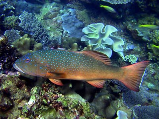 Coral Trout on Ningaloo