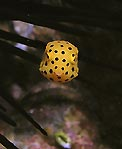 Tiny Boxfish