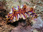 Confused nudibranch