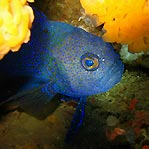 Blue Devilfish