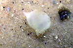 Cuttlefish Egg