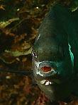 White Ear Fish