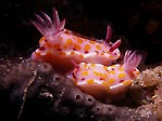 Nudibranch pair
