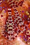 Coleman Shrimps