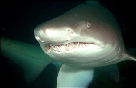 http://www.underwater.com.au/content/7136/grey_nurse_shark_close.jpg