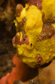 Patient Frogfish