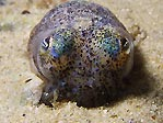 Southern Bob-tailed Squid