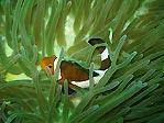 Tioman Anemonefish
