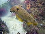 Bare Island Cuttlefish