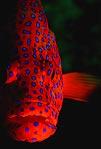 Coral Trout Portrait