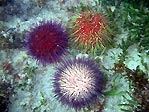 Colourful Urchins