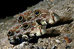 Crab Eye Gobies