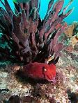 Cuttlefish posing