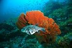 Pufferfish in Burma