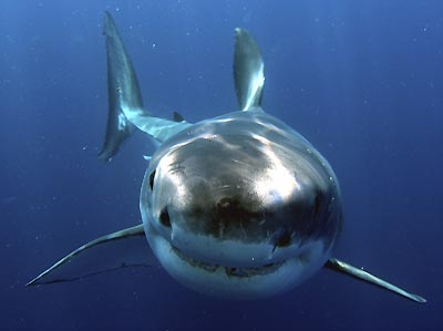 Great White Shark picture 4