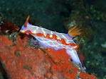 Another gorgeous nudibranch, Sulawesi, Indonesia