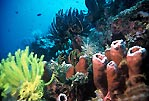 Healthy reef at Bunaken, Sulawesi, Indonesia