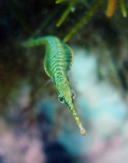 Green Pipefish