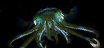Luminous Squid