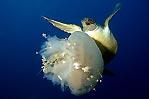 Jellyfish dinner