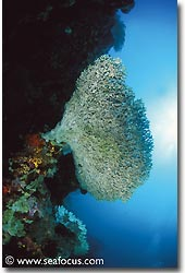 A big coral head jutted out from the wall, Bali