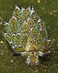 Smallest Nudi - 0.5 cm