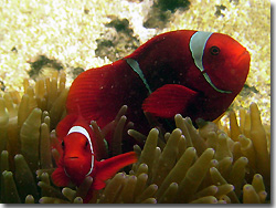 A couple of Spine-cheek Anemonefish. Uepi, Solomon Islands